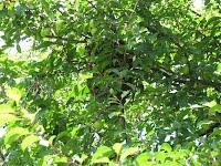 Roj na drevesu